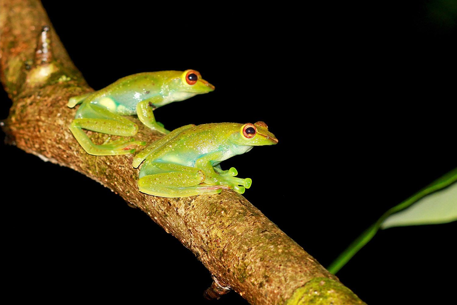 Tree frogs at night